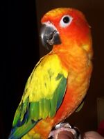 Looking for a conure
