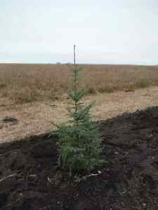 Wild White and Black Spruce Trees for Sale
