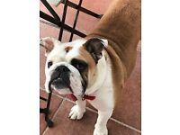 16 month old bulldog.