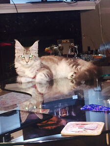 Lost my 7 months Main coon cat