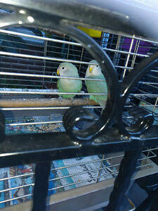 2 SETS OF LOVEBIRDS FOR SALE WITH CAGE.