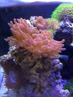 rose bubble tip anemone coral