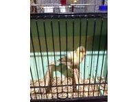 Chocolate and yellow canary hen