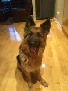 Purebred German Shepherd/ Berger Allemand Femelle Pure Sang