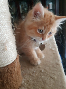 Ragdoll Ginger female kitten ready for fur-ever home!