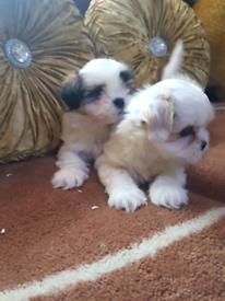 Super cute shitzu puppies