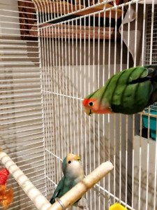 Pair of lovebirds,toys and cage..