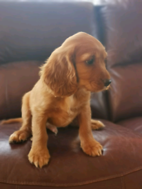 Beautiful Ruby Red Cavapoo Puppy's