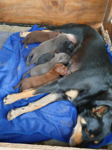 Pure Bred kelpies pups - ONLY ONE LEFT RED PUP