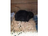 Dwalf lop rabbit