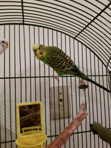Pair of Budgie for sale with cage
