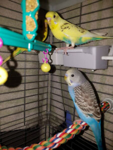 4 Young Budgies