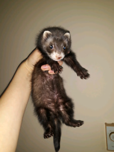 Ferret with all staffing for him 520$