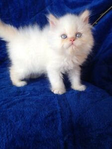 4 ADORABLE PERSIANS KITTENS