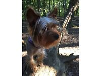 10 months Yorkshire Terrier for sale