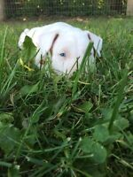 LAST CHANCE ALL WHITE ENGLISH BULL TERRIERS