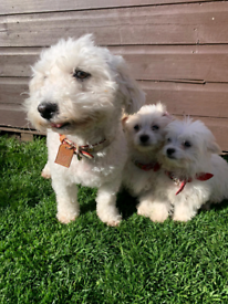 Cavachons puppies