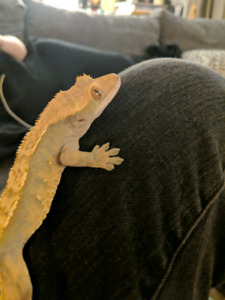 *on hold* Male Crested Gecko to good home