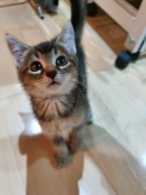 ** SOLD** Tabby X Russian Blue cross female kitten
