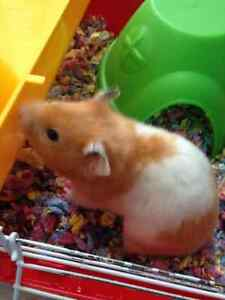 Hamster & 2 Cages On Sale for $70