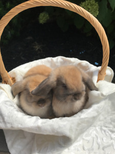 Purebred Holland Lop Bunny - Ready for their new homes now
