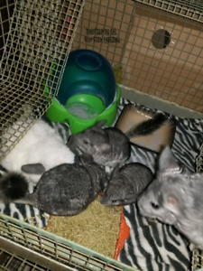 3 Baby Chinchillas for sale