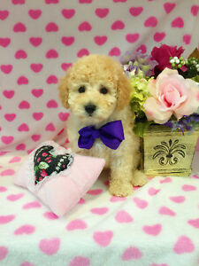 Teddy Bear Tiny Toy/Toy poodle puppies for sale