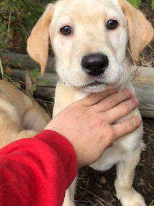 Yellow Labrador Puppies -LAST 2 . DELIVERY TOMORROW