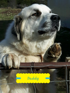 Great Pyrenees X Maremma puppies For Sale