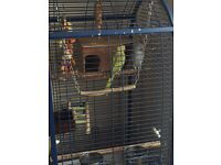 ring neck parrots x2 including cage