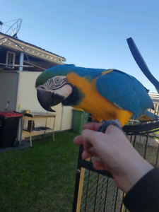 macaws for sale | Birds | Gumtree Australia Free Local