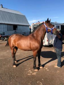 8 year old bay mare