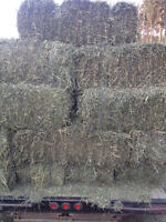 1st Cut Timothy or Grass/alfalfa hay sml or lrg squares for sale