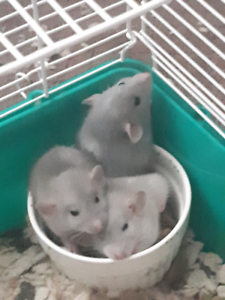 Multiple Ages Dumbo Rat Babies