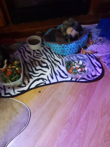 Free one peruvian guiena and short hair guinea pi with cage pen