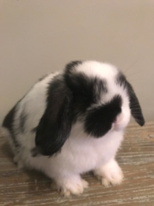 Beautiful & Curious Holland Lop Baby Ready 2 Go!