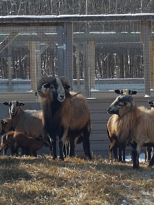 Black Belly Sheep Flock Dispersal
