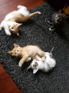 Free kittens for sale 8 weeks old