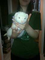 White Ferret For Sale