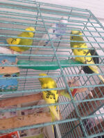 looking for a free female budgie