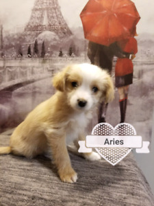 Long Haired Chihuahua/Wire Terrier Cross puppies