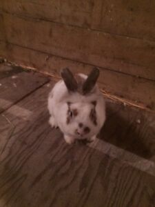 Miniature lion head bunny for sale Kitchener / Waterloo Kitchener Area image 2