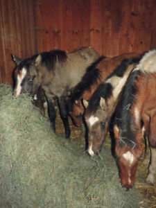 Many weanling Paints and Quarter horse for sale