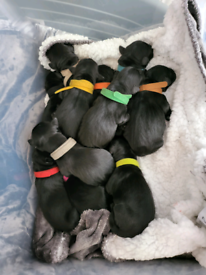 Black labradore puppies