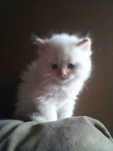Flame point Himalayan kitten for sale