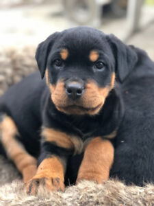 Rottweiler Puppies Kijiji In British Columbia Buy Sell Save