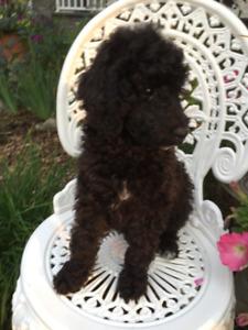 Awsome CKC registered Moyen Poodle