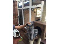 BSH blue kittens for sale