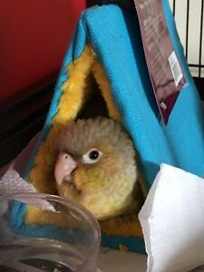 Baby pineapple conure