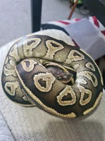 Female python cb20